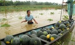 FPT Đà Nẵng mua dưa hấu ủng hộ dân vùng lũ
