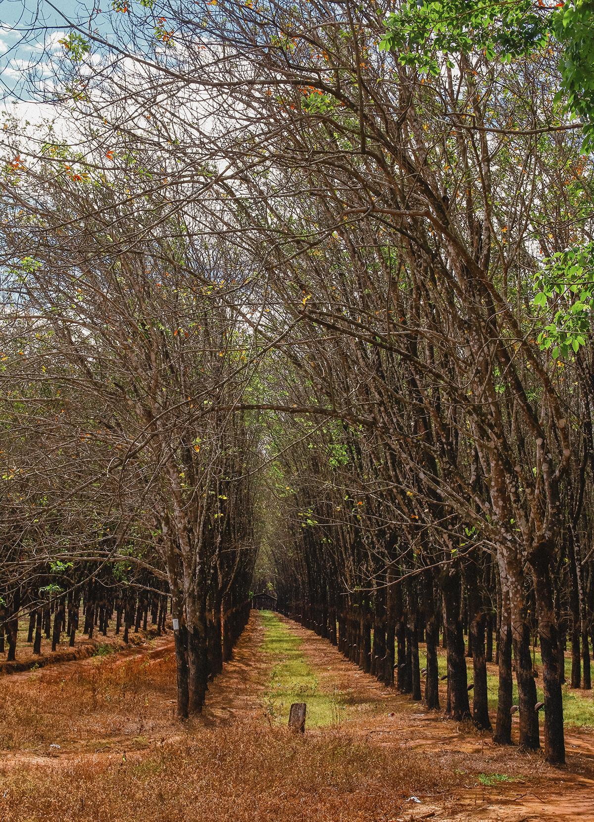 Những hàng cây được trồng thẳng tăm tắp, tuy khô trụi lá, thân cây khẳng khiu nhưng vô cùng vững chãi và đầy kiêu hãnh như tính cách mộc mạc, giản dị, chân chất của người dân nơi đây.