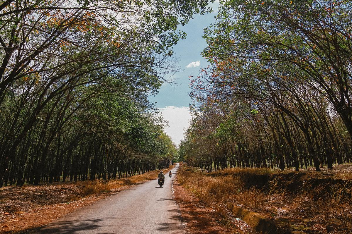 """Nếu lỡ vô tình lạc bước vào những con đường thuộc các huyện lân cận thành phố Pleiku (tỉnh lỵ của Gia Lai) như Chư Păh, Chư Sê, Chư Prông... bạn sẽ không khỏi ngỡ ngàng và ngay bị """"đánh cắp trái tim"""" bởi những hàng cao su thẳng tăm tắp tựa như một tấm thảm khổng lồ.Những con đường cao su ấy biến thiên nhiên nơi đây trở nên hoang dã, đầy mộng mị, bí ẩn và quyến rũ như một nàng thơ."""