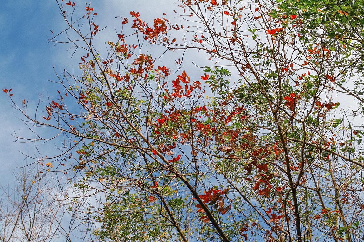 Giữa nền trời xanh mây trắng bay, những chiếc lá vàng, lá đỏ lãng mạn điểm xuyết ngay lập tức thu vào tầm mắt của những người thích tìm đến không gian thơ mộng.