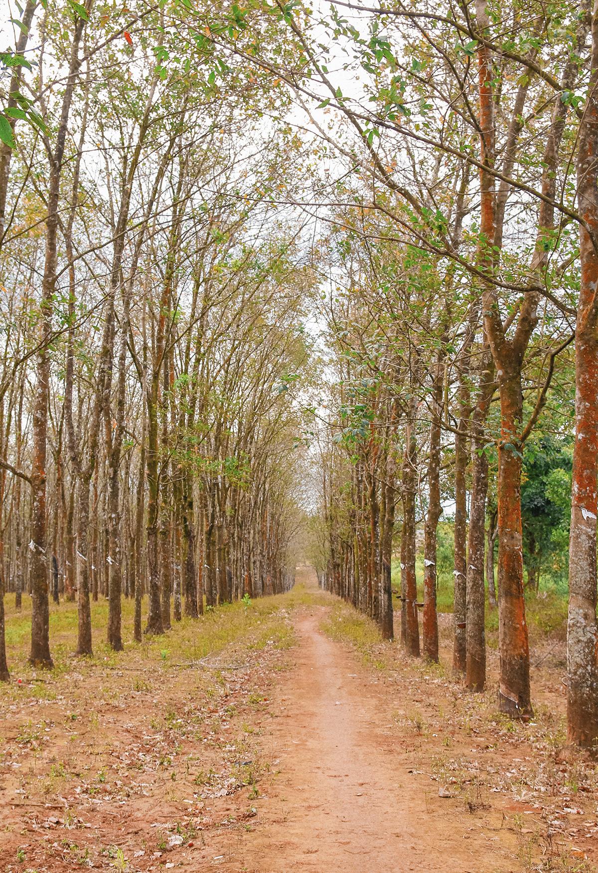 Trong khi mùa mưa Tây Nguyên kéo dài từ tháng 5 đến tháng 10, thì thời điểm chuyển sang tháng 11 là khi đất trời Gia Lai bước vào mùa khô, độ ẩm và nhiệt độ thấp. Những cánh rừng cũng bắt đầu trút lá miên man khắp cả một khoảng trời rộng lớn.