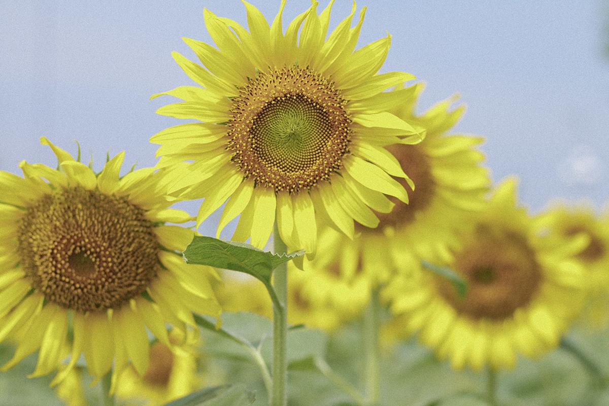 Vườn có diện tích 18.000 m2 là nơi khoảng 600.000 bông hoa hướng dương khoe sắc làm thành một tấm thảm vàng xanh khổng lồ nơi ngoại ô TP HCM.