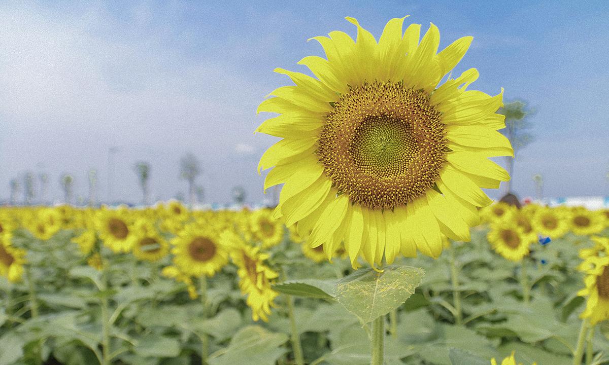 Đây cũng là lần đầu tiên tại TP HCM xuất hiện một cánh đồng hoa lớn.