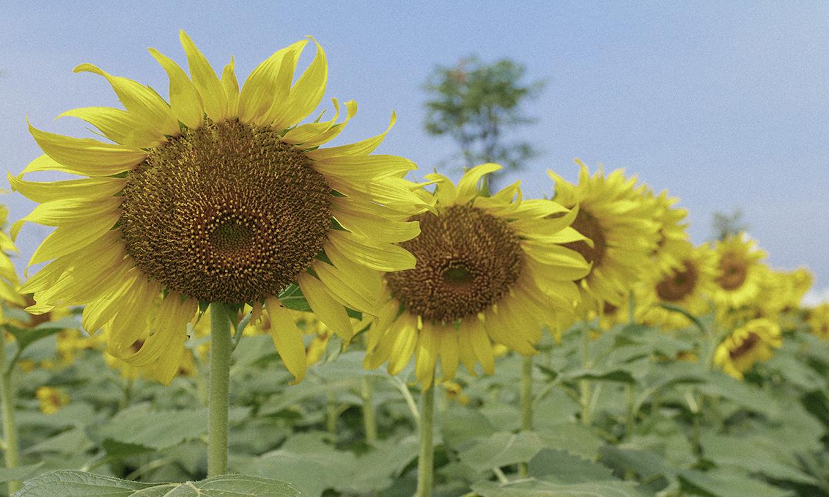 Cánh đồng hoa là dự án phi lợi nhuận của nhóm kỹ sư nông nghiệp tại TP HCM. Vé tham quan được dùng vào việc chăm sóc vườn.