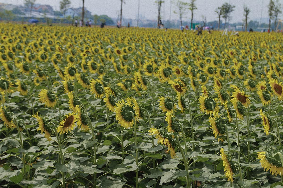 Trước đây, ở phía Nam, để có thể chiêm ngưỡng những cánh đồng hoa rộng lớn như thế này, khách du lịch phải đi quãng đường rất xa đến Đà Lạt.