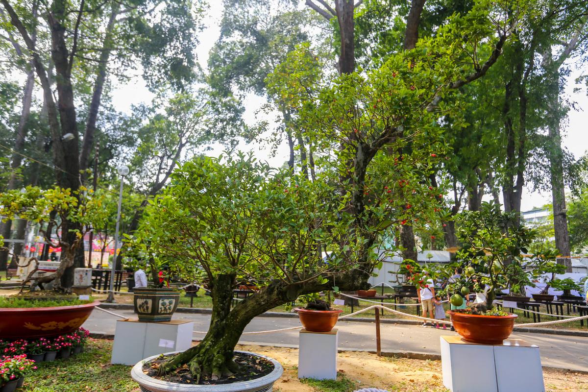 Nhiều cây ăn quả thường thấy như mận, bưởi, cóc, dâu da... cũng được các nghệ nhân tạo hình bonsai. Cây mận hoàng yến cao 3 m, có thế long giáng được chủ nhân định giá 100 triệu đồng.