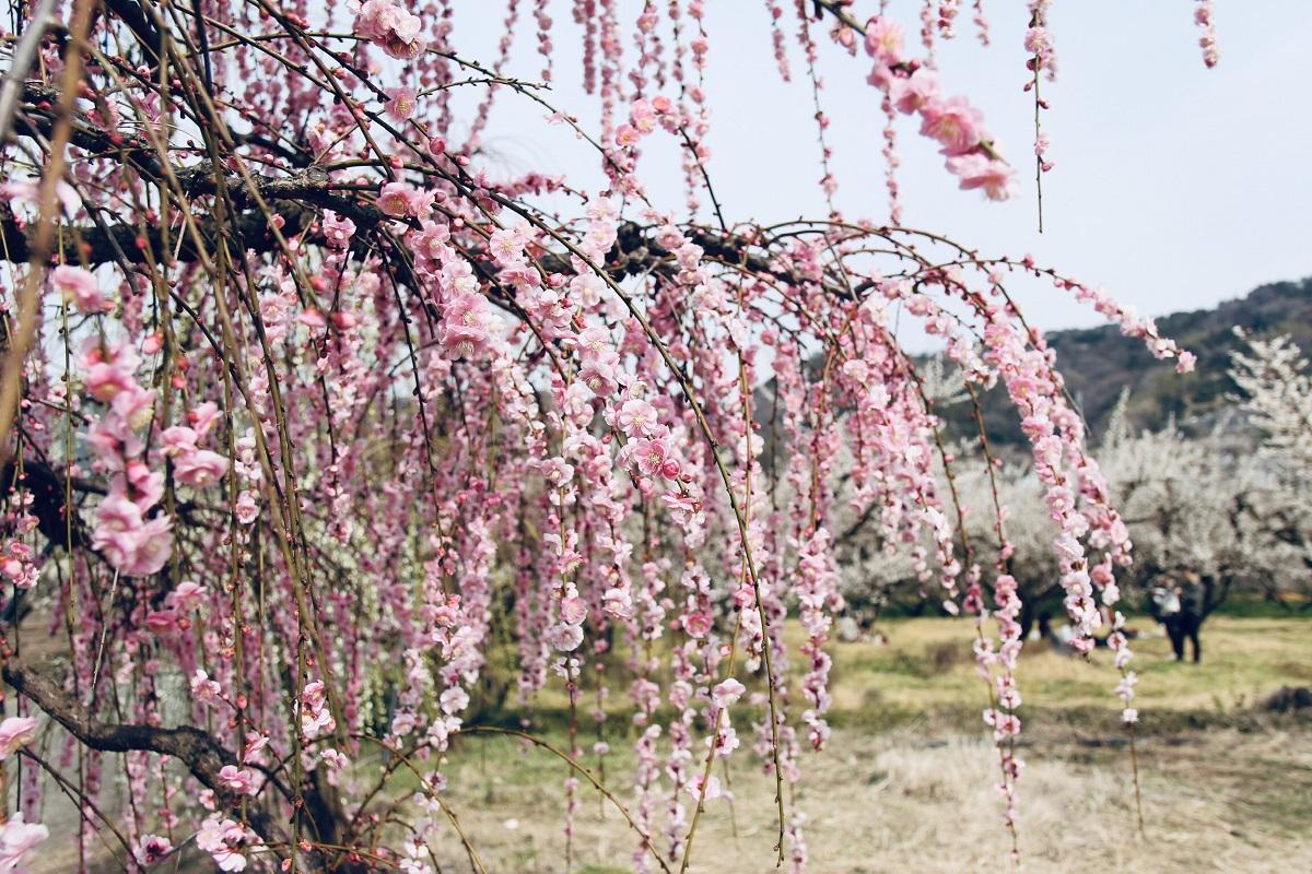 Cánh hoa mơ nhỏ xinh, mềm mại, nương nhẹ theo gió và nắng mùa xuân. Hoa nở từ giữa tháng hai cho tới tháng ba, những nụ hoa bé xíu vươn mình trong băng tuyết để bung nở khi mùa xuân tới.