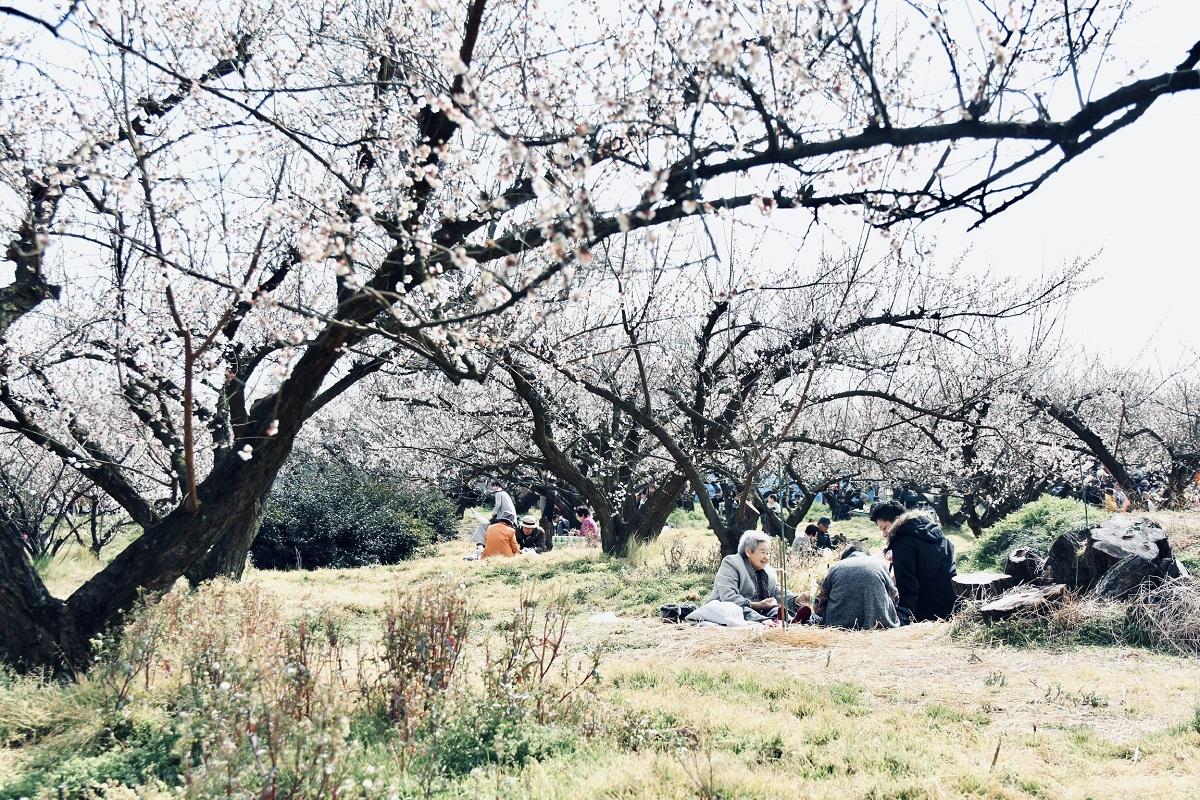 Nam nhân viên cho biết, hoa mơ Nhật Bản có nhiều loại và có vẻ đẹp riêng nhưng đều duyên dáng, ngập tràn sức sống. Đây cũng là địa điểm tuyệt vời để các gia đình trải nghiệm và vui chơi.