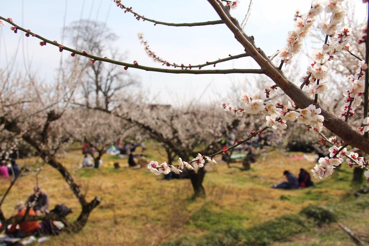 """Du khách được đắm mình trong thảm hoa và hương thơm dịu dàng, tất cả tạo nên ấn tượng tinh tế mang đậm vẻ đẹp Nhật Bản. """"Dân onsite nhà F thường không thể bỏ qua với những cảnh đẹp như kiểu vườn hoa mơ Odawara"""", anh nói."""