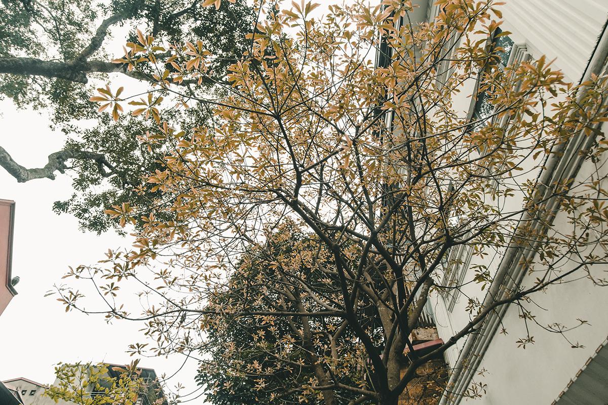 Khung cảnh đẹp lạ thường này một năm chỉ có một lần thôi nhưng nó lại chỉ tồn tại trong vài ngày bởi ngay sau màn vàng úa, lá rụng theo gió thì cây bắt đầu ra mầm xanh, xanh um tùm và trổ hoa.