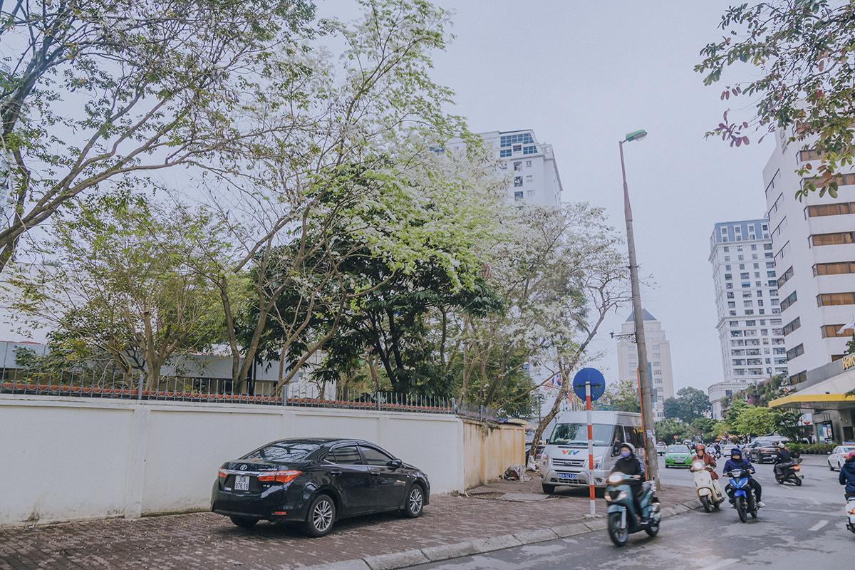 Đầu tháng 3, khi miền Bắc còn chút lạnh, và mưa xuân lất phất xen lẫn chút nắng là lúc hoa sưa bắt đầu nở trên các con đường, góc phố trung tâm thủ đô. Những ngày này, bạn chỉ cần đi dạo một vòng là có thể khám phá ra rất nhiều địa điểm hoa sưa nở trắng xóa.