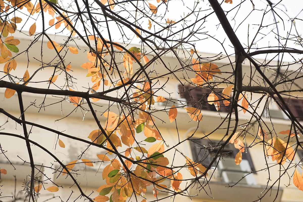 Trên những cành khô khẳng khiu, những chiếc lá còn sót lại đã đổ màu đỏ rực. Mới vài tuần trước, cây còn xanh lá, vậy mà dường như chỉ qua một đêm, người ta phải thốt lên ngỡ ngàng trước sự rực rỡ của lá vàng, lá đỏ nhuộm kín cả một góc trời.