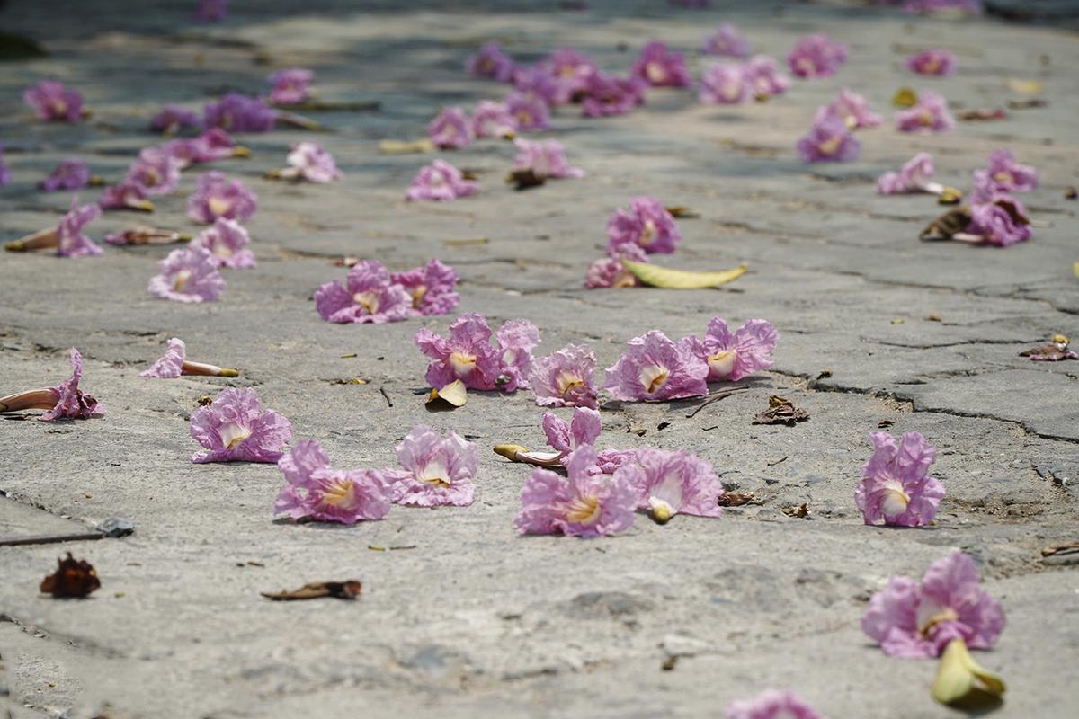 """Tuy rực rỡ thế, kèn hồng chỉ nở rộ được 3-4 ngày rồi lại nhanh chóng rơi rụng.Mùa hoa kèn hồng còn được ví như """"hoa học trò"""" vì báo hiệu mùa thi của học sinh Sài thành đã đến."""