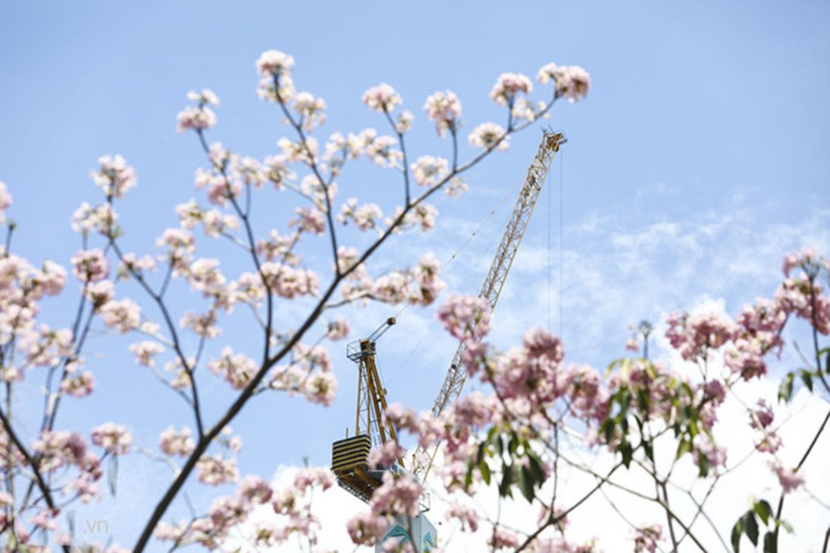 Kèn hồng gần giống hình chuông, mọc thành chùm 4-7 bông. Khi cây ra hoa, hầu hết lá đều rụng, trên đầu mỗi cành chỉ nhìn thấy những cụm hoa tím tím hồng hồng đẹp mắt.
