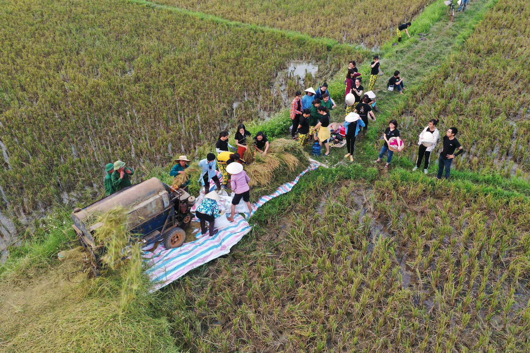 Lúa sau khi gặt xong được tuốt luôn trên cánh đồng. Mọi người tự túc làm từ A - Z: chuyển lúa và đóng vào bao mang về sân phơi. Theo BTC, lúa sau khi đóng gói sẽ được đưa về sân sau của toàn nhà FPT (17 Duy Tân) để phơi khô.
