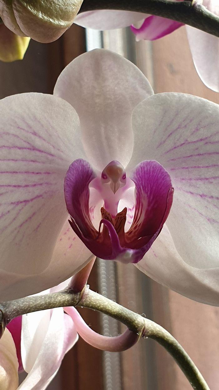Bông hoa phong lan trông giống như một con đại bàng.