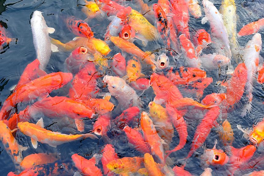 Bên cạnh hồ luôn được đặt sẵn rất nhiều gói thức ăn cho cá, người nhà F mỗi lúc làm việc căng thẳng có thể xuống đây nghỉ ngơi thư giãn bên đàn cá rực rỡ sắc màu.