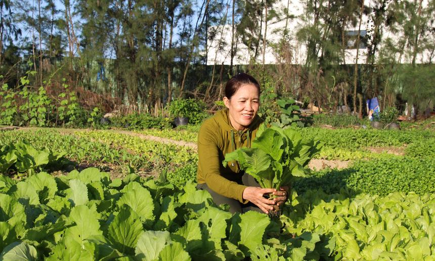 Vườn rau xanh tốt này nằm lọt thỏm trong khuôn viên F-Complex, TP Đà Nẵng, đây là ý tưởng của côĐặng Thị Dung, nhân viên chăm sóc cây cảnh, khi khu đất trống đang chờ thi công, cô tận dụng để trồng vài luống rau tặng CBNV ăn Tết.