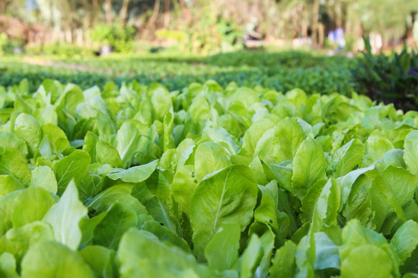 Tuy chỉ khoảng 200m2, nhưng ở đây có đầy đủ các loại như: Cải xanh, cải ngọt, rau xà lách, rau ngò... có cả đậu que (đậu cô ve) hay dưa chuột. Mỗi thứ được trồng thành từng luống nhỏ để dễ chăm sóc, thu hoạch.