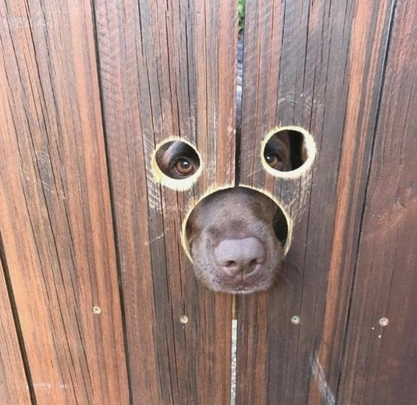 """""""Hàng xóm mới nhận nuôi một chú chó nên bố tôi đã khoét lỗ trên hàng rào."""""""