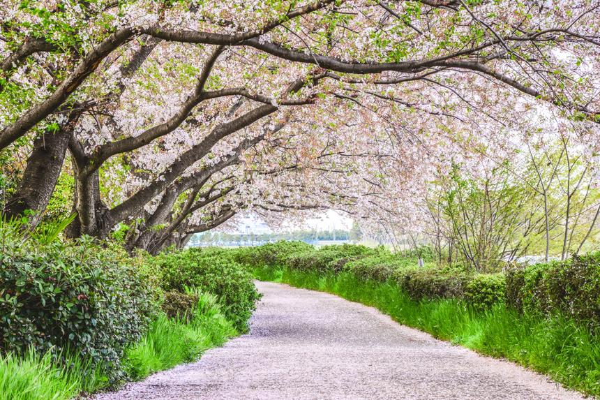 Nhiều du khách nước ngoài khi đến Nhật Bản cũng rất thích ngồi dưới tán hoa anh đào để ngắm hoa, tán gẫu và thậm chí là tổ chức những bữa tiệc nho nhỏ. Ảnh: ThomNTH