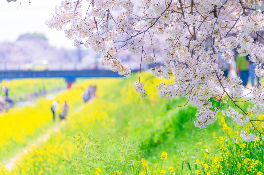 Những đoá anh đào nở rộ được ví như trái tim của Nhật Bản. Ảnh: LamVV
