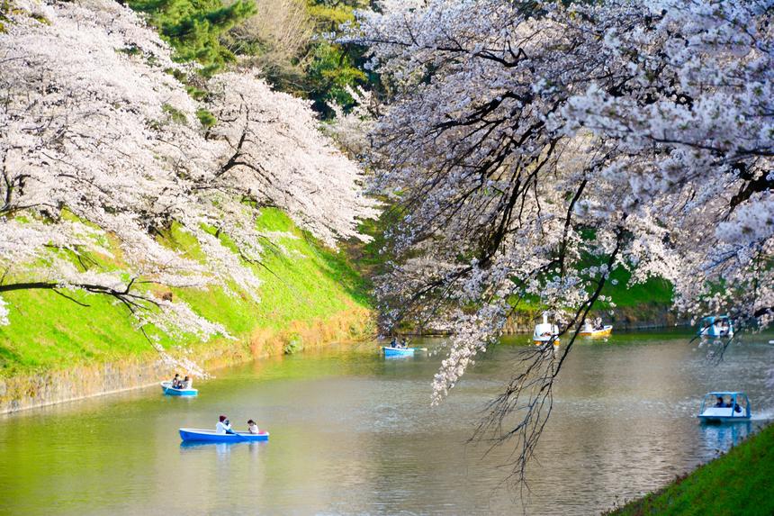Hoa anh đào (sakura) thường nở rộ vào tháng 4, khi năm học mới ở Nhật Bản bắt đầu. Tuy nhiên, năm nay hoa nở sớm bất thường và phần lớn đã tàn trước ngày tựu trường. Đỉnh điểm hoa nở rộ ở cố đô Kyoto là vào ngày 26/3, sớm nhất kể từ khi dữ liệu được ghi chép lại từ năm 1953 và sớm hơn 10 ngày so với mức trung bình trong 30 năm qua.Ảnh: ThomNTH