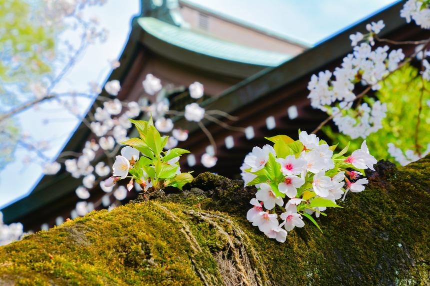 Ảnh chụphoa anh đào trước Đền thờ Yakukuni Jinja.Có một quy định quan trọng được đặt ra, đó là không được hái các cánh hoa, để cho vẻ đẹp của hoa được mọi người thưởng thức. Người ta cũng cho rằng những cánh hoa anh đào rơi tượng trưng cho linh hồn được tái sinh của những chiến binh đã ngã xuống và bạn không nên có bất kỳ tác động nào lên đó. Ảnh: ThomNTH