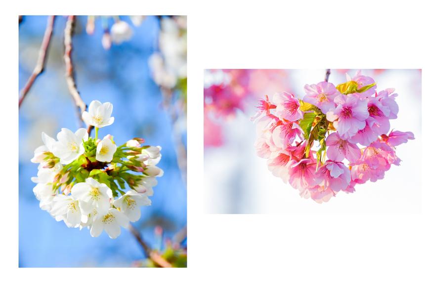 Nhật Bản có tới hơn 200 loài anh đào khác nhau, tuy nhiên được trồng phổ biến nhất là giống hoa Somei-yoshino có màu hồng nhạt. Ngoài Somei-yoshino, các giống sakura phổ biến có thể kể ra như Kasumizakura, Edohigan, Oshimasakura, Oyamasakura và Yamasakura. Ảnh: ThomNTH (trái); LamVV (phải)