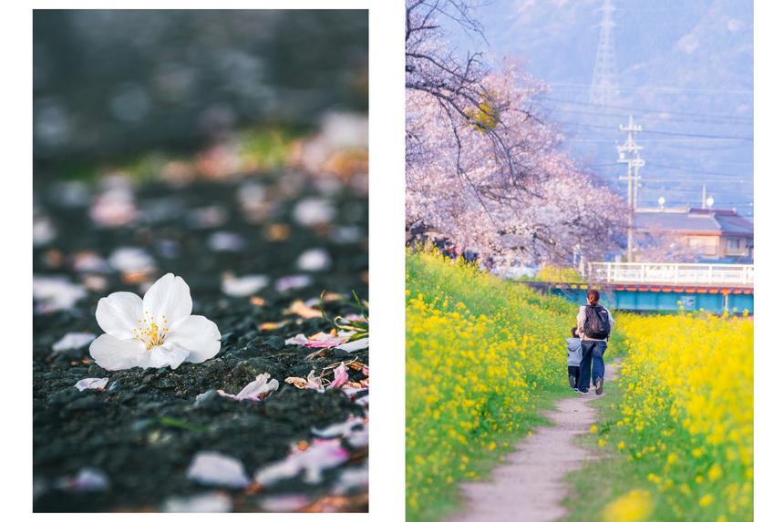 Cứ vào mùa anh đào nở, người dân Nhật Bản lại tổ chức lễ hội ngắm hoa anh đào, gọi là Hami. Phong tục này đã có từ rất lâu và được người Nhật vô cùng yêu thích. Ảnh: LamVV