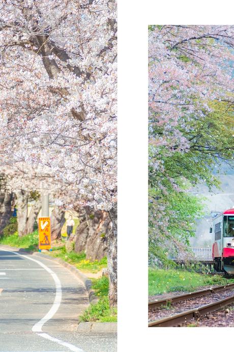 Mùa anh đào nở sớm qua ống kính nhiếp ảnh gia FPT Japan